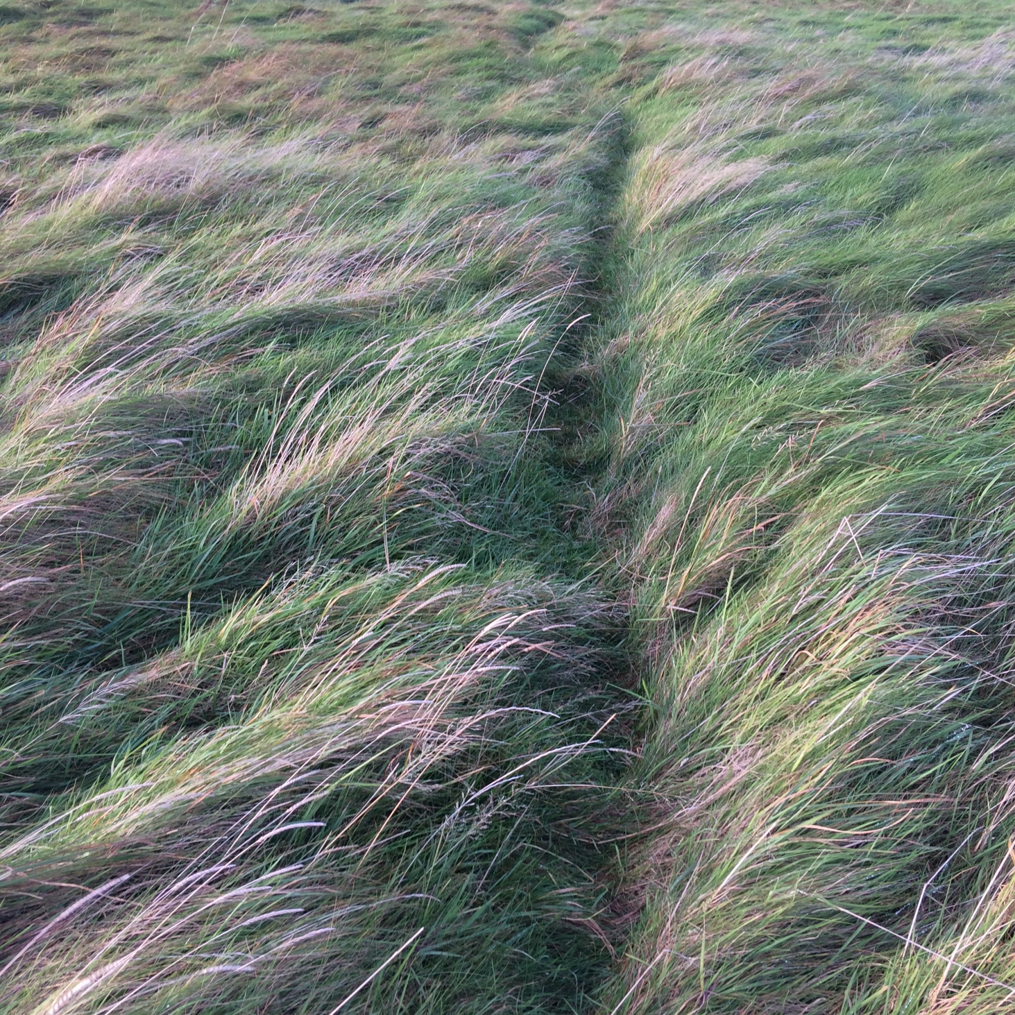 Grasses Project - Paths - Dog Walking Path - Burry Port 2018