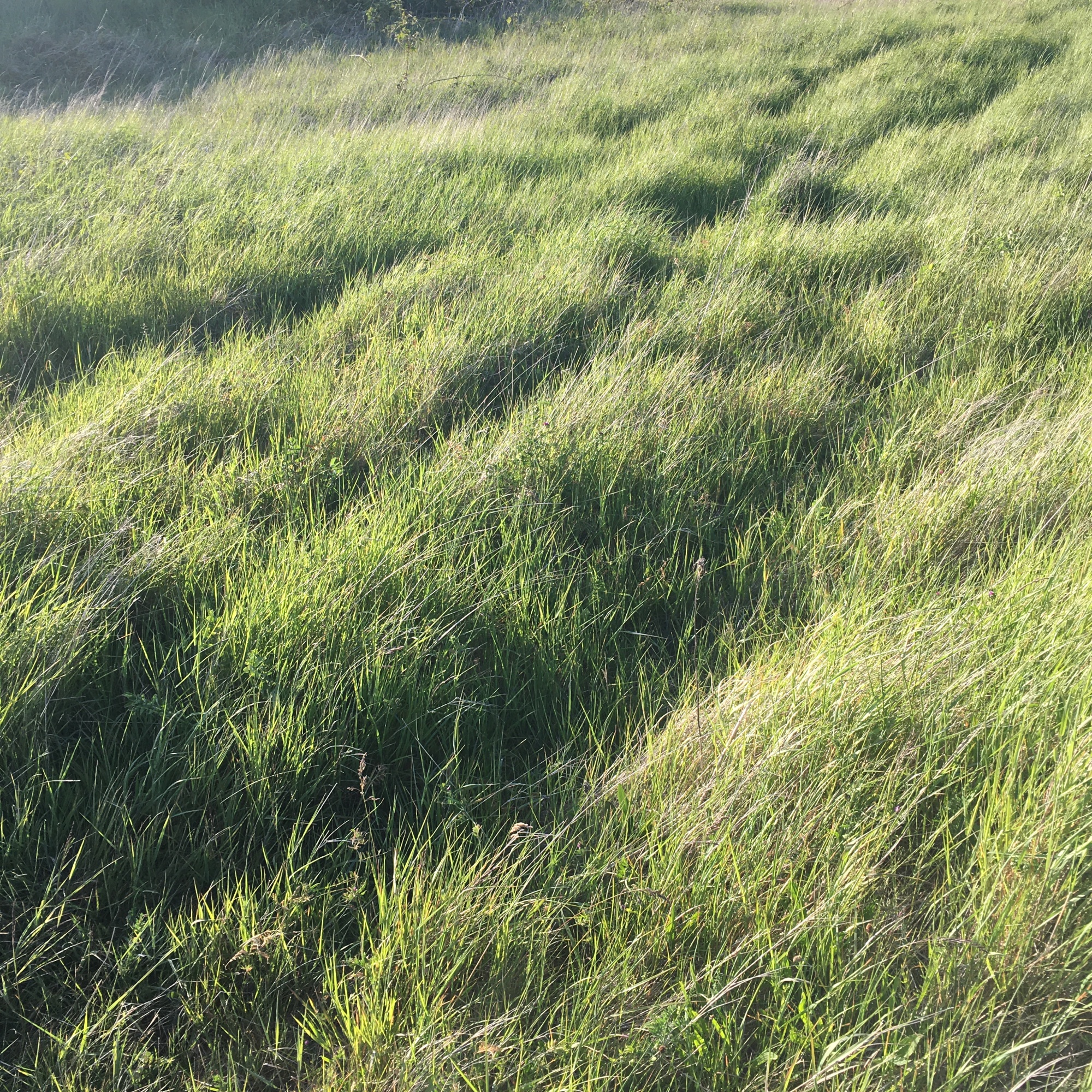 Grasses Project - Paths - animal track - Path No7 - Burry Port 2020