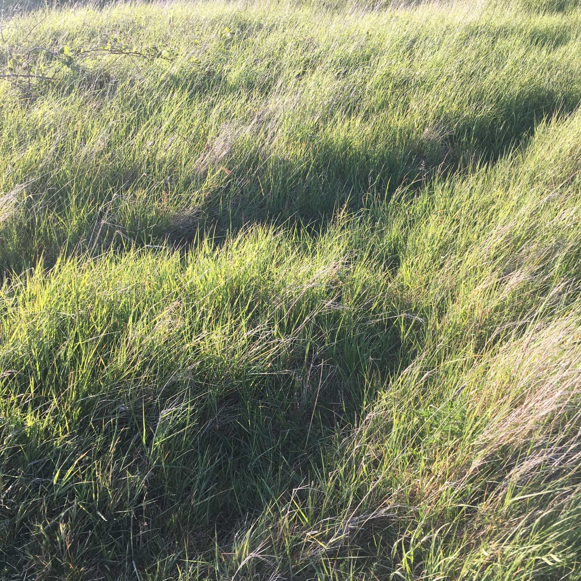Grasses Project - Paths - animal track - Path No8 - Burry Port 2020