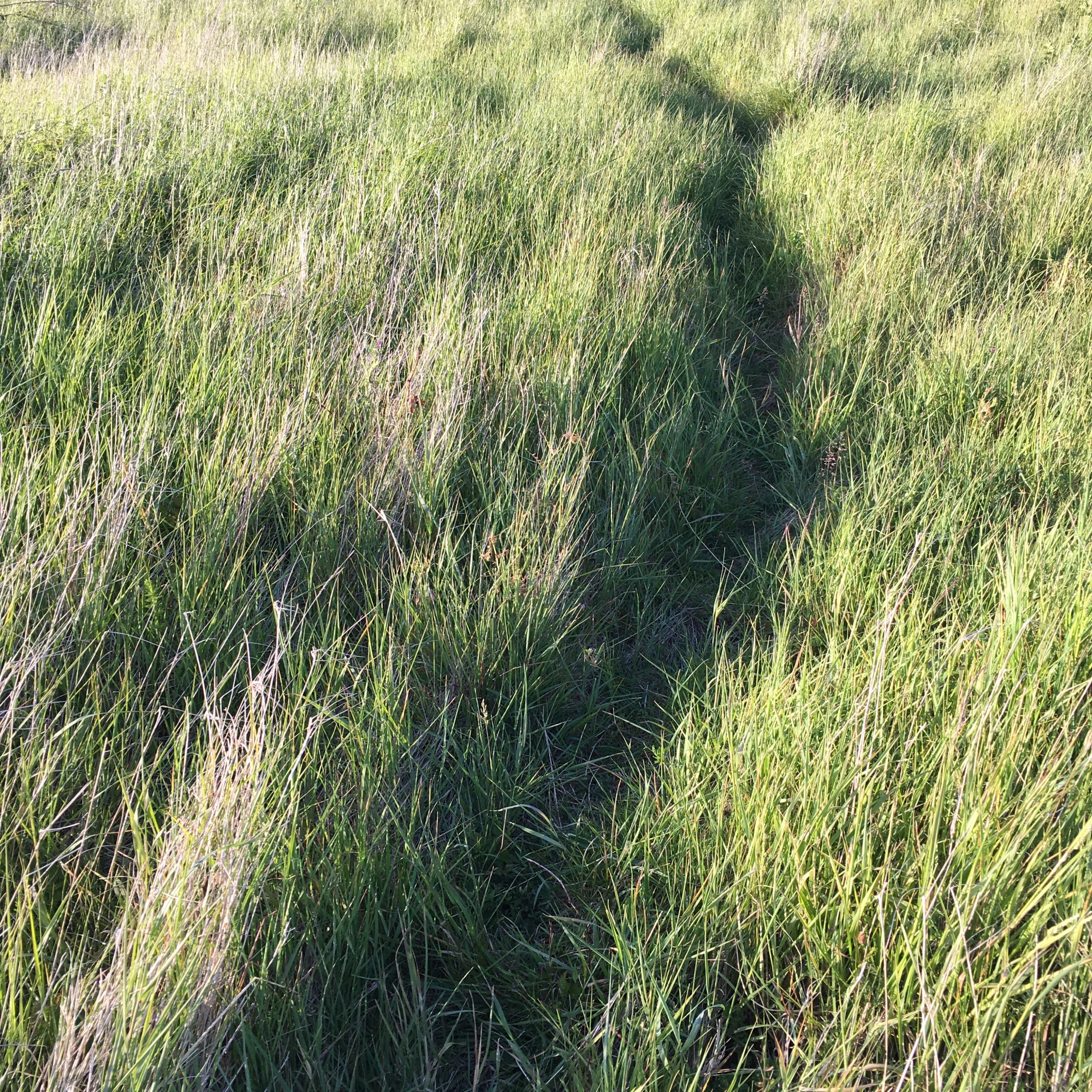 Grasses Project - Paths - animal track - Path No9 - Burry Port 2020