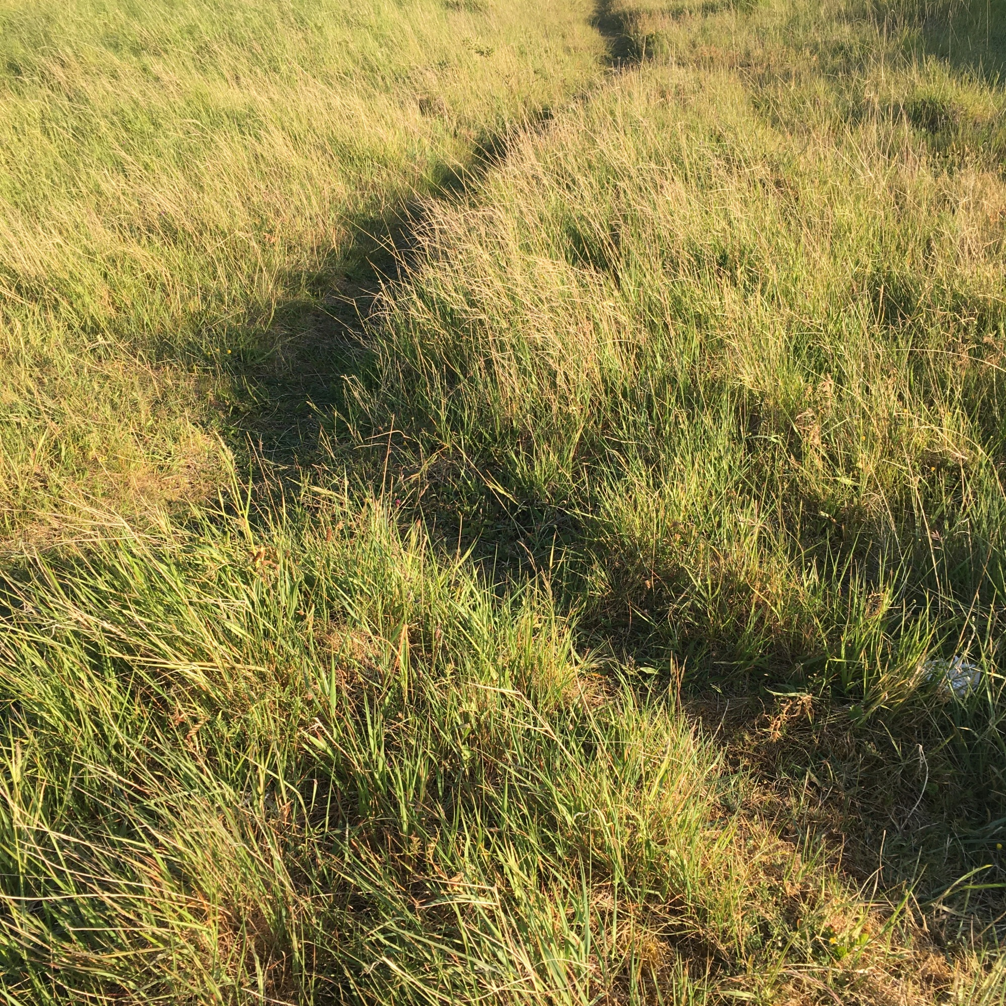 Grasses Project - Paths - Walking Path  No10- Burry Port 2020