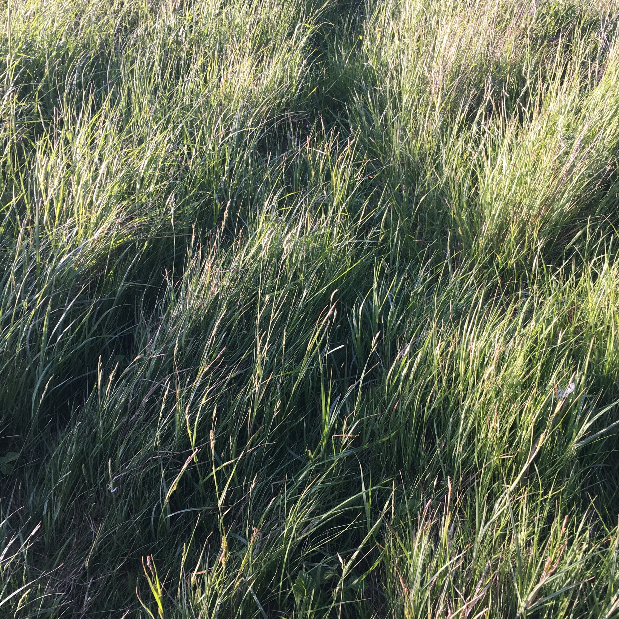 Grasses Project - Paths - animal track - Path No12 - Burry Port 2020